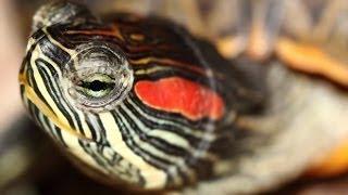 Домашний зоопарк: Украшенные черепахи