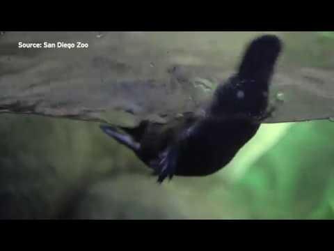 San Diego Zoo Safari Park Has Only Platypus On Display Outside Of Australia