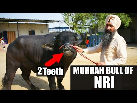 MURRAH BULL OF NRI DAIRY FARMER - The Most Popular High