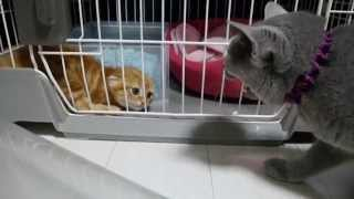 初対面の子猫に威嚇しまくる先住猫