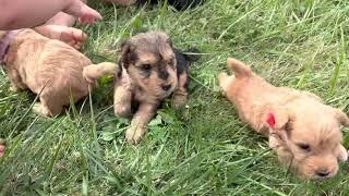June  Johnny 9/4/21 4 weeks old  lakeland puppies