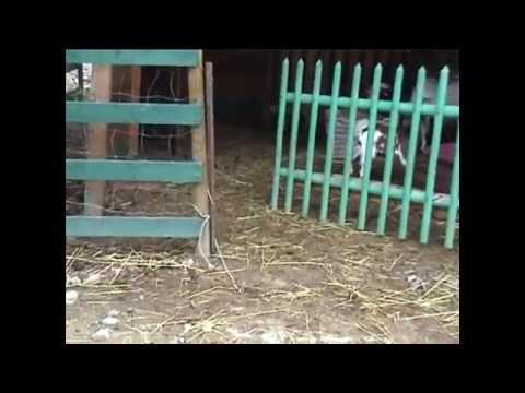 Cuccioli Di Pastore Delle Alpi Apuane Doti Naturali Youtube