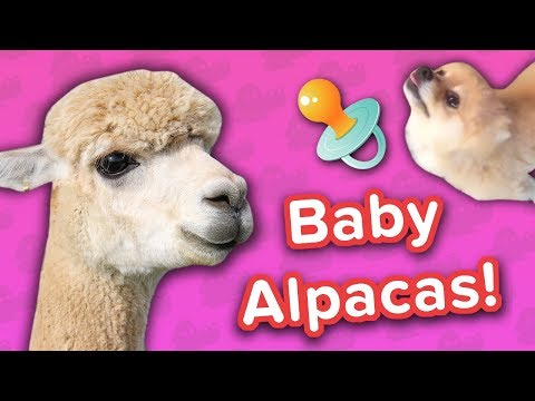 Baby Alpacas & Pampered Pomeranians! // Funny Animal Compilation