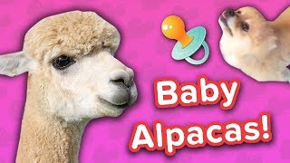 Baby Alpacas & Pampered Pomeranians! // Funny Animal Compilation