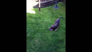 Border Terrier Puppy Loves New Toy