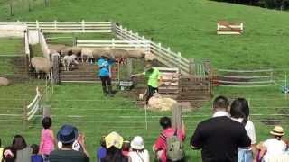 2015-07-26 小岩井農場まきば園へ行ってきました。ボーダーコリーの羊追...