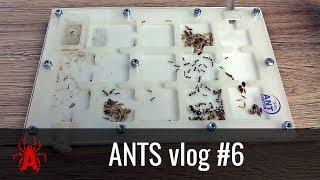 ANTS vlog #6 NOWE GNIAZDO dla Messor barbarus!