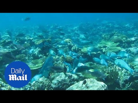 Parrotfish Feed On Coral Reef In The Chagos Archipelago