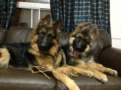 Benny and Dojo, King Long Haired German Shepherd puppies playing!