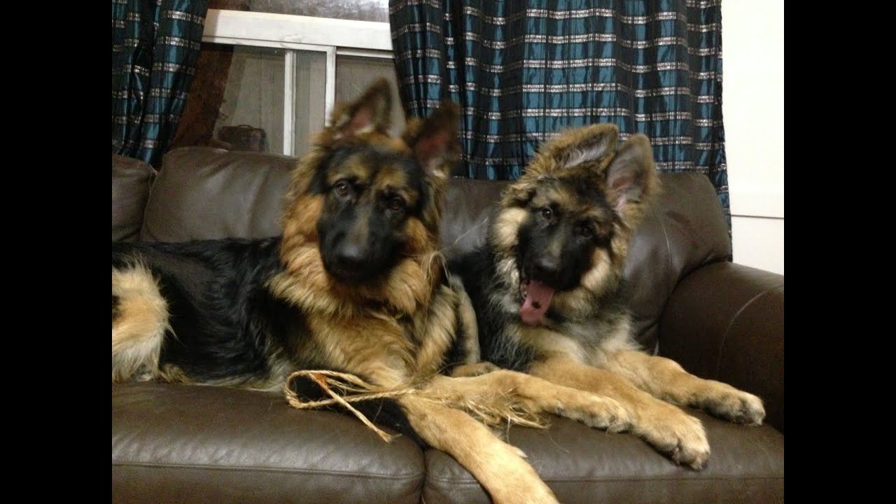 Benny And Dojo King Long Haired German Shepherd Puppies