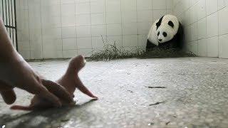 Um Panda Não Aceitou o Seu Bebê, Então Aconteceu Isto