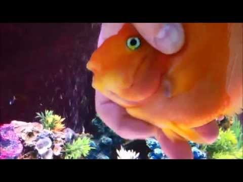 Blood Parrot Cichlid | Massaging My Blood Parrot Cichlid Youtube