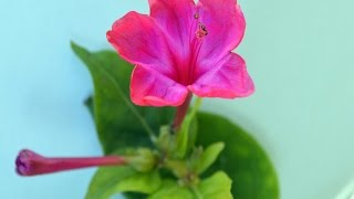 JALAPA (Mirabilis jalapa) PLANTAS MEDICINALES