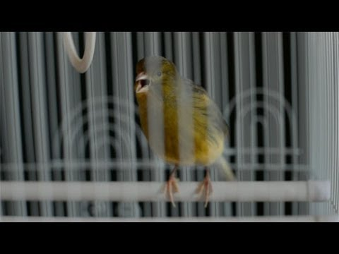 Chromosome 7 - I know why the caged bird sings