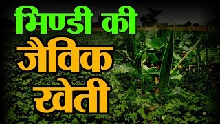 Organic Bhindi | Lady Finger Farming | मिलिए  भिंडी की जैविक खेती करने वालो Mahila Kisan