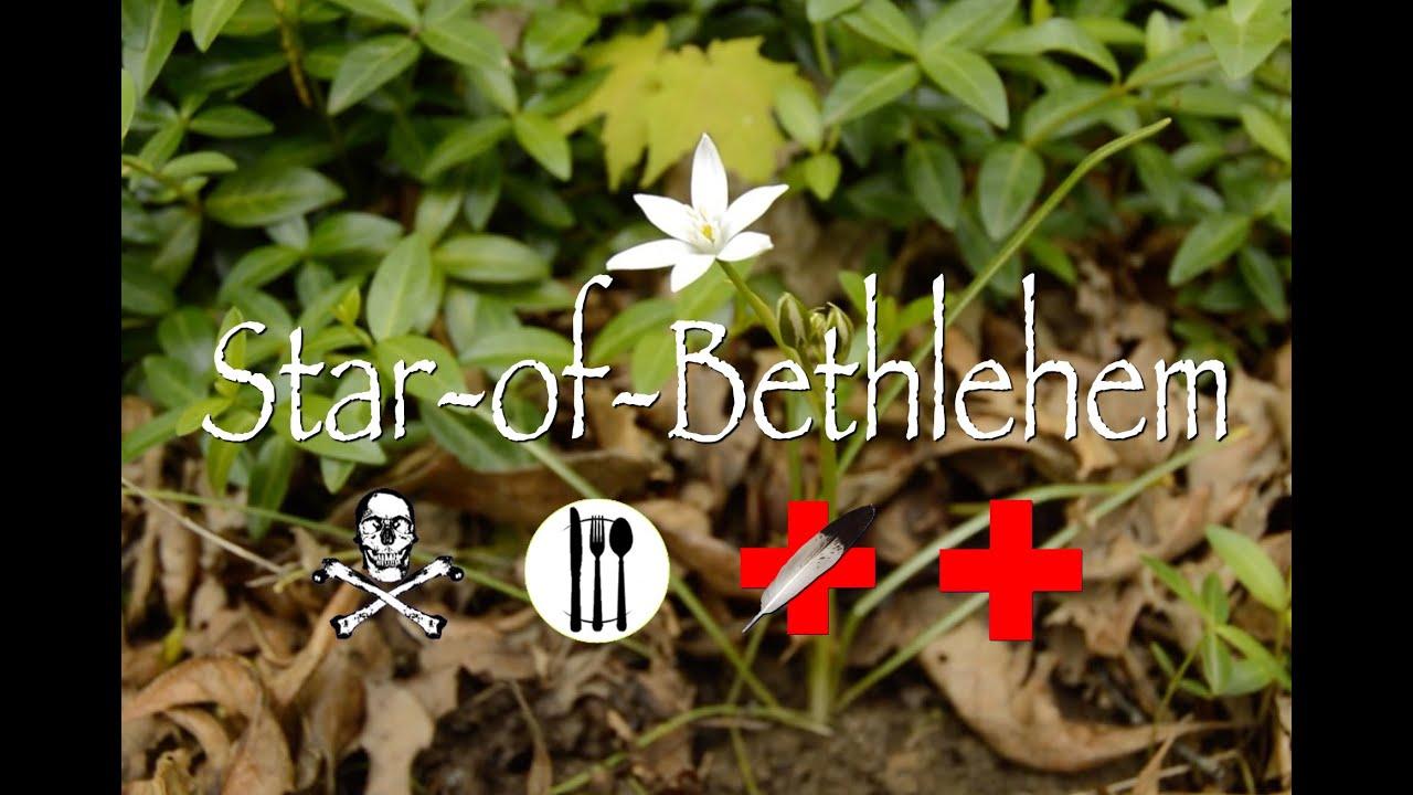Star Of Bethlehem Poison Edible Medicinal