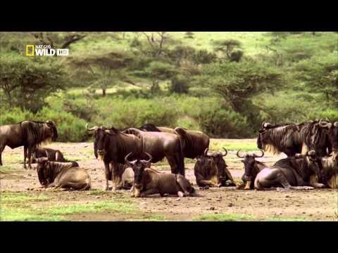 Wildebeest Gnu Survivor Antelope Saved By The Lioness Nat Geo 1080p