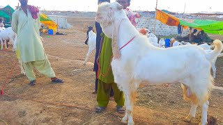 Biggest Gulabi Goats |Biggest Market of Asia