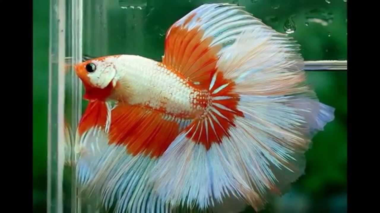 Download 73 Koleksi Gambar Ikan Cantik HD Terpopuler