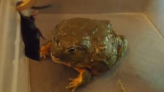 Вечернее кормление мышью, лягушки водоноса. В конце бонус.