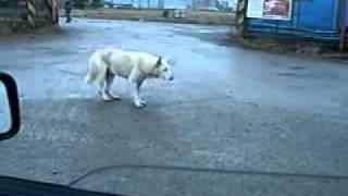 Собака танцует :P.flv