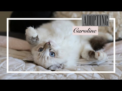 VLOG: Getting Our Ragdoll Kitten!