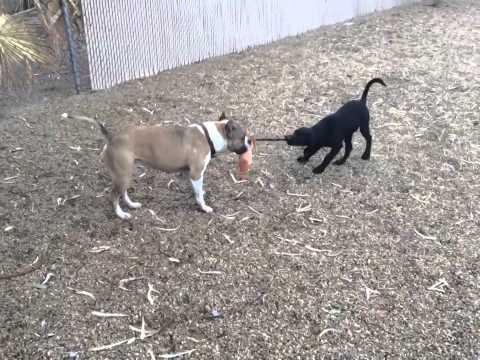 Tug-o-war....Pitbull or Lab puppy?