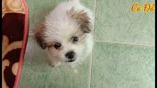 Chó Nhật + Bắc Kİnh Giá Rẻ Không Tưởng.. Loại Chó Giúp Thư Giãn Tuyệt Vời.