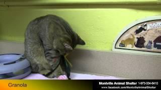 Montville Animal Shelter -  Male - Domestic Short Hair - Adopt Granola