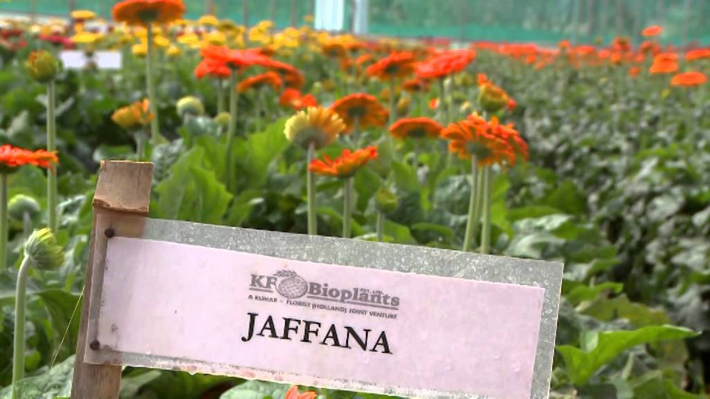 Model Gerbera Farm Youtube