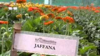 Model Gerbera Farm