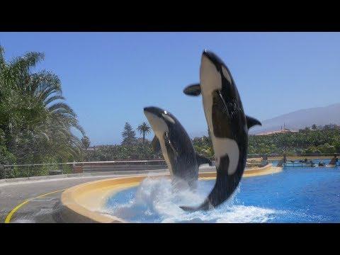 Orcas en cautiverio, ¿un espectáculo cruel?