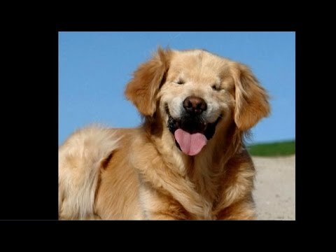 Born Without Eyes Golden Retriever Helps Brighten People S Days