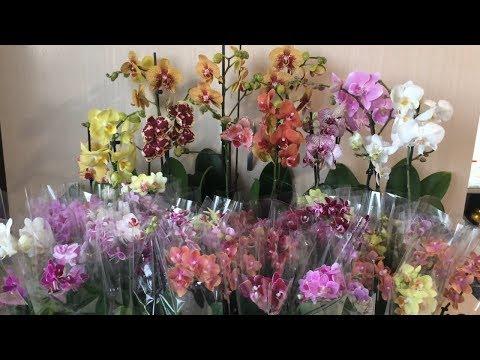 СЕЗОН ОТКРЫТ!!! Продажа сортовых орхидей. Ссылка на бронирование в описании к этому видео.