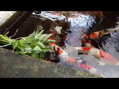 Cara Mencerahkan Warna Ikan Koi