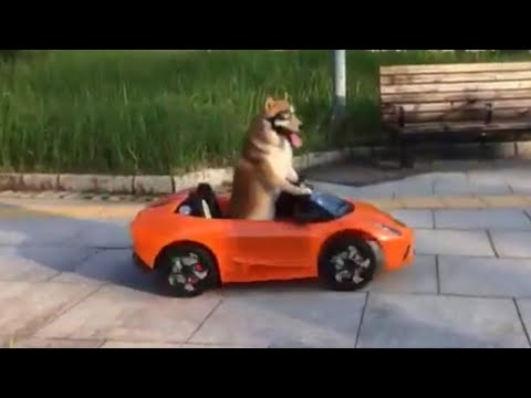Shiba Inu learns how to ride a scooter