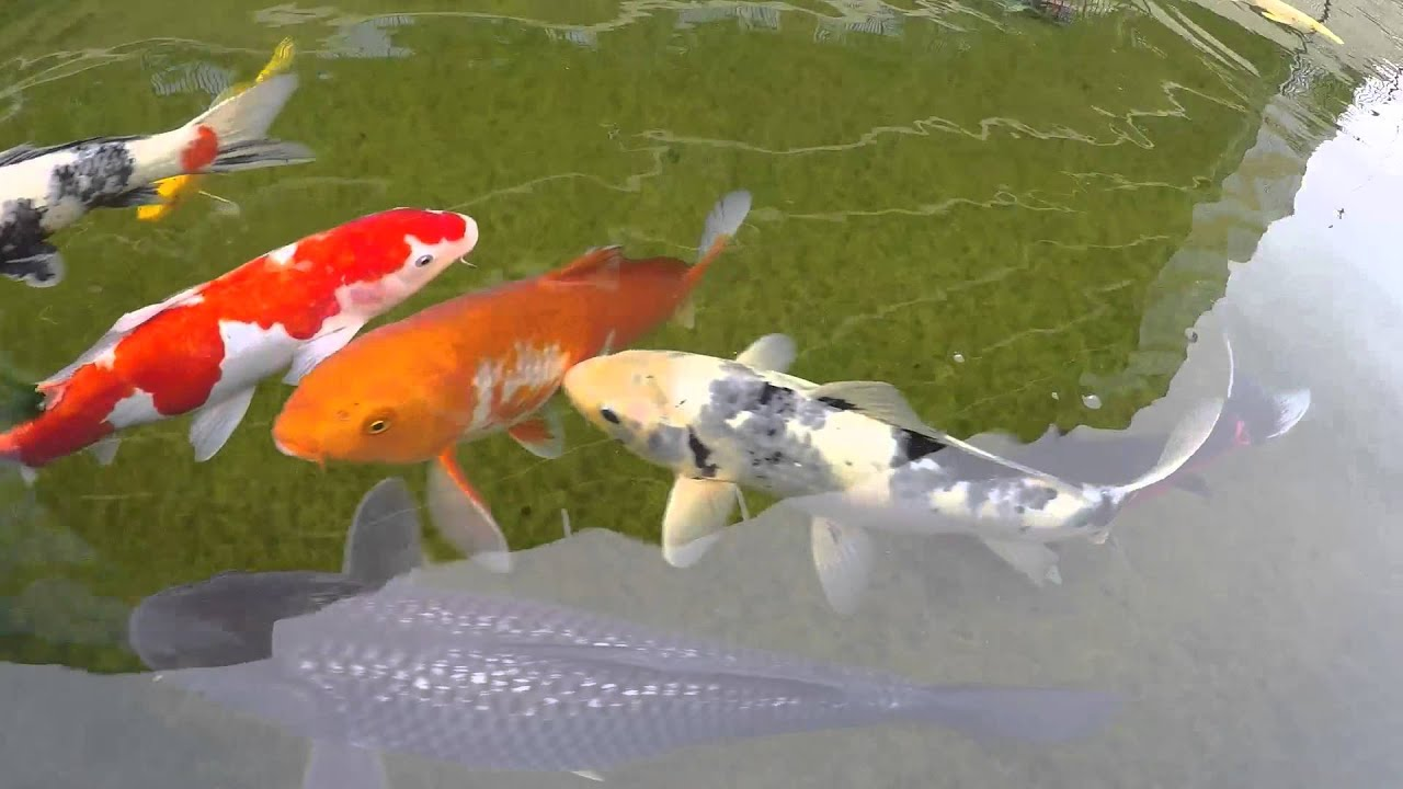 Colorful Koi and Catfish - YouTube