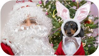 The best New Year's gift ever! Cute & funny dachshund video!