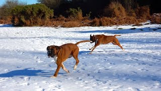 BOXER DOGS ON SNOW * СОБАКИ БОКСЁРЫ НА СНЕГУ
