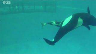 Câmera capta último nascimento de bebê orca em cativeiro no SeaWorld
