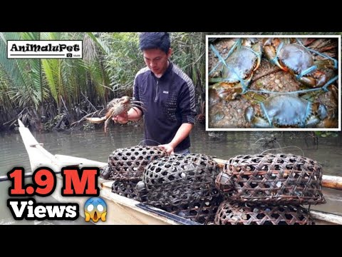 "Surigao Traditional Alimango or Mud Crab Trap Called ""Panggal"" [Catch & Cook]"