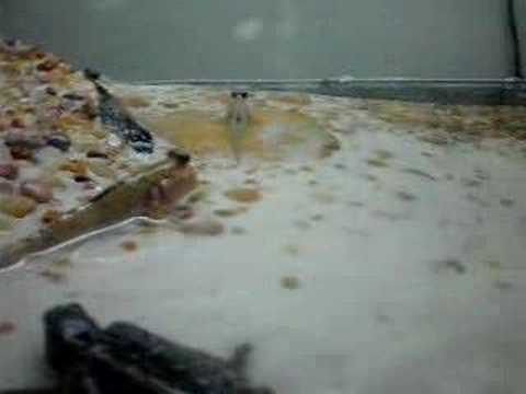 My Mudskipper tank with a baby snapping turtle - YouTube