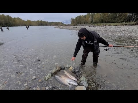 Catching Coho Salmon At VEDDER River! Lots Of Bites(Float Fishing)
