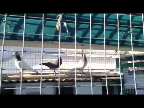 Pakistani Pigeons In Canada 2013 Travel Video