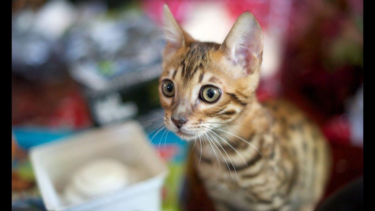 Порода кошек Саванна - YouTube