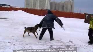 Собака против человека!!! Dog attack a man!  Злая Чита!!!