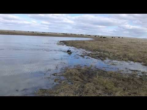 field bred english cocker spaniel