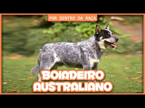 Australian Cattle Dog (Blue Heeler) - POR DENTRO DA RAÇA