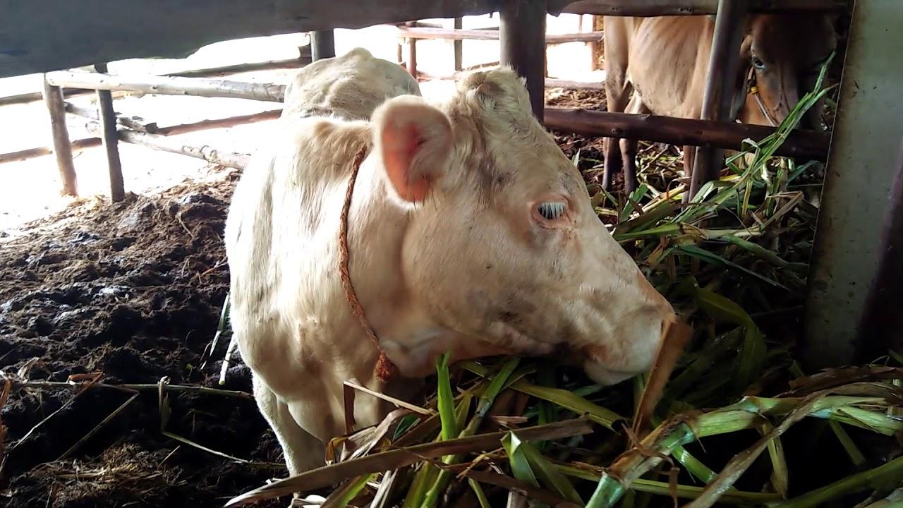 อัฟเดทวัวให้ชมในคอกสวยๆ22ตัวเตรียมขุนอ้วนไปตลาดนัดโคกระบือแยกการช่าง