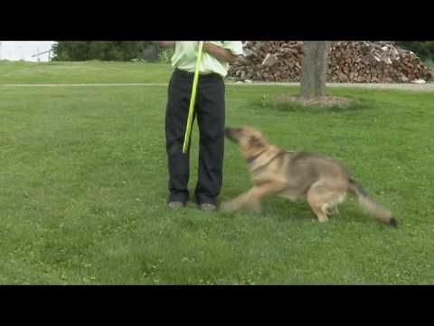 Dennis Mast's Australian Shepherd German Shepherd Mix Puppies!!!